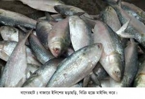 Hilisha-Fish